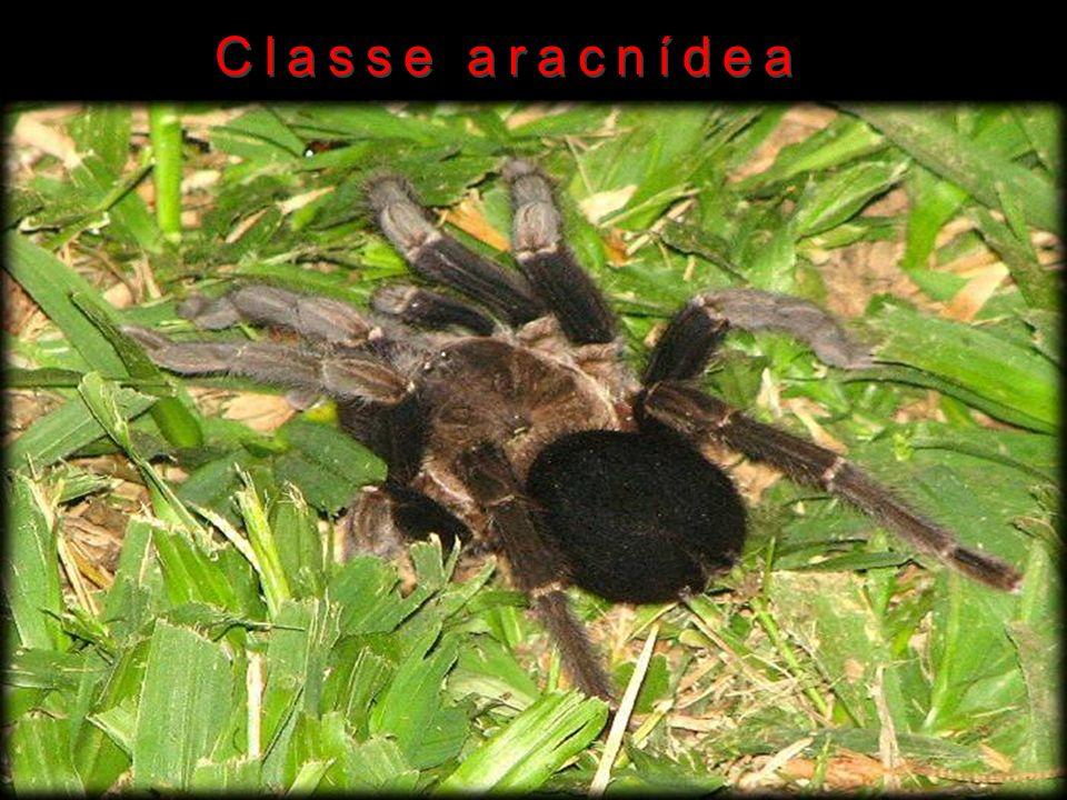 Classe aracnídea