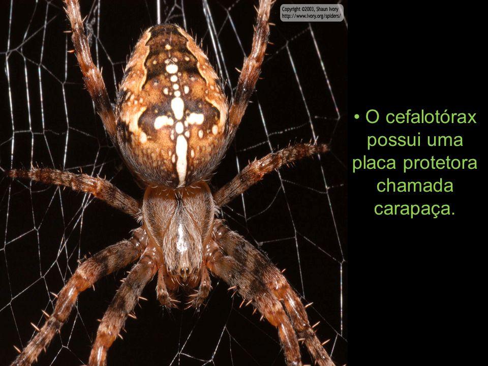O cefalotórax possui uma placa protetora chamada carapaça.