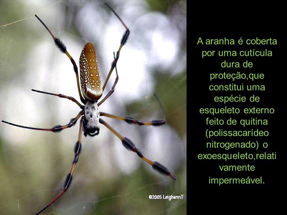 A aranha é coberta por uma cutícula dura de proteção,que constitui uma espécie de esqueleto externo feito de quitina (polissacarídeo nitrogenado) o exoesqueleto,relativamente impermeável.