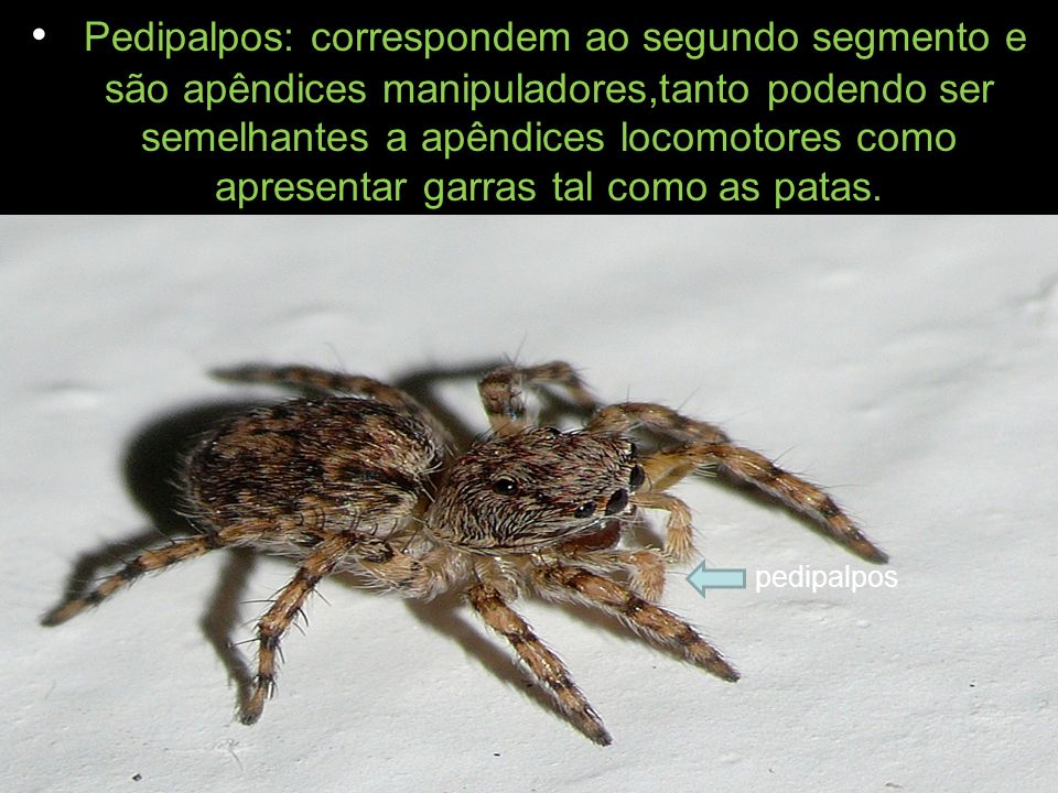 Pedipalpos: correspondem ao segundo segmento e são apêndices manipuladores,tanto podendo ser semelhantes a apêndices locomotores como apresentar garras tal como as patas.
