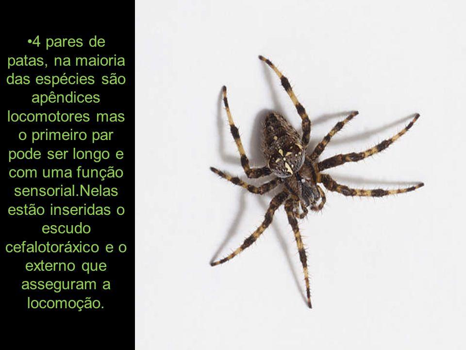 4 pares de patas, na maioria das espécies são apêndices locomotores mas o primeiro par pode ser longo e com uma função sensorial.Nelas estão inseridas o escudo cefalotoráxico e o externo que asseguram a locomoção.