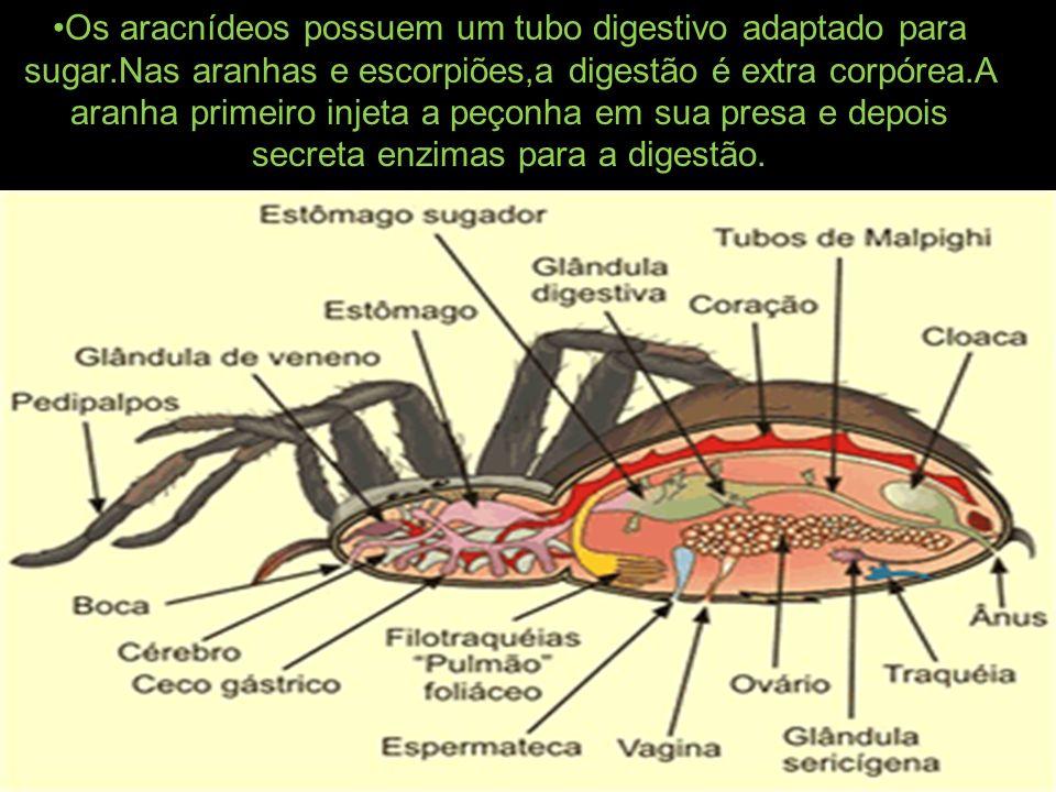 Os aracnídeos possuem um tubo digestivo adaptado para sugar