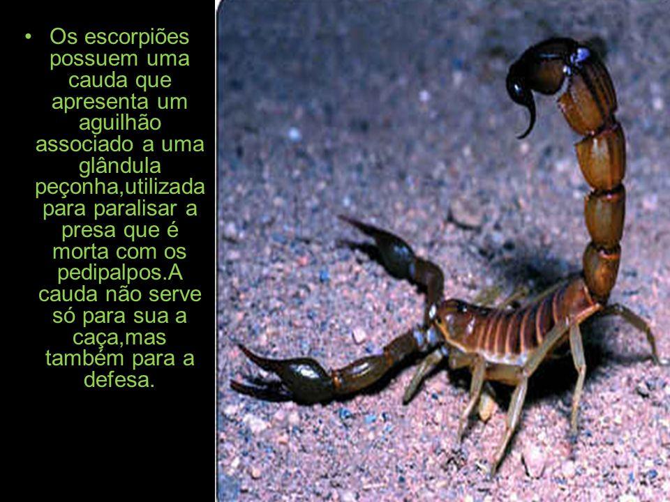 Os escorpiões possuem uma cauda que apresenta um aguilhão associado a uma glândula peçonha,utilizada para paralisar a presa que é morta com os pedipalpos.A cauda não serve só para sua a caça,mas também para a defesa.