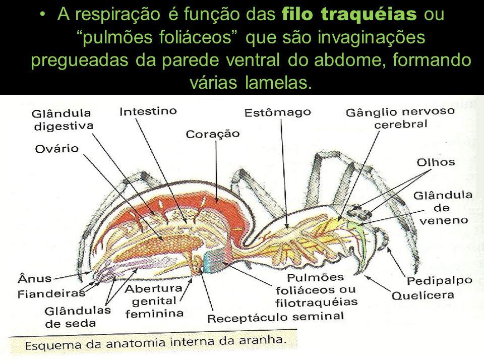 A respiração é função das filo traquéias ou pulmões foliáceos que são invaginações pregueadas da parede ventral do abdome, formando várias lamelas.