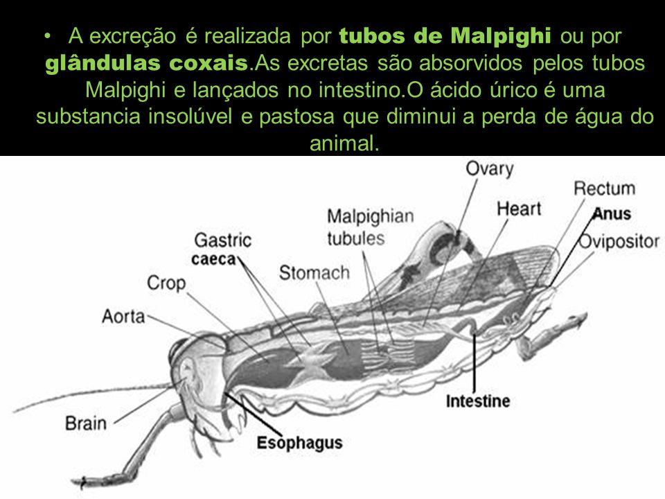 A excreção é realizada por tubos de Malpighi ou por glândulas coxais