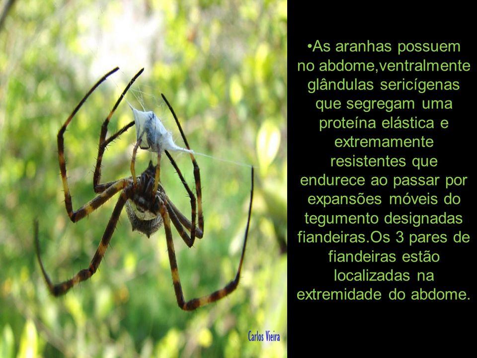 As aranhas possuem no abdome,ventralmente glândulas sericígenas que segregam uma proteína elástica e extremamente resistentes que endurece ao passar por expansões móveis do tegumento designadas fiandeiras.Os 3 pares de fiandeiras estão localizadas na extremidade do abdome.