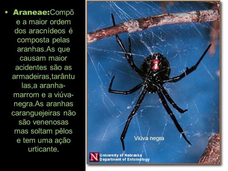 Araneae:Compõe a maior ordem dos aracnídeos é composta pelas aranhas