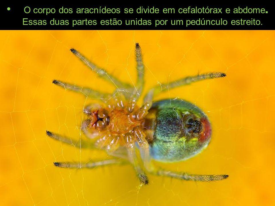 O corpo dos aracnídeos se divide em cefalotórax e abdome