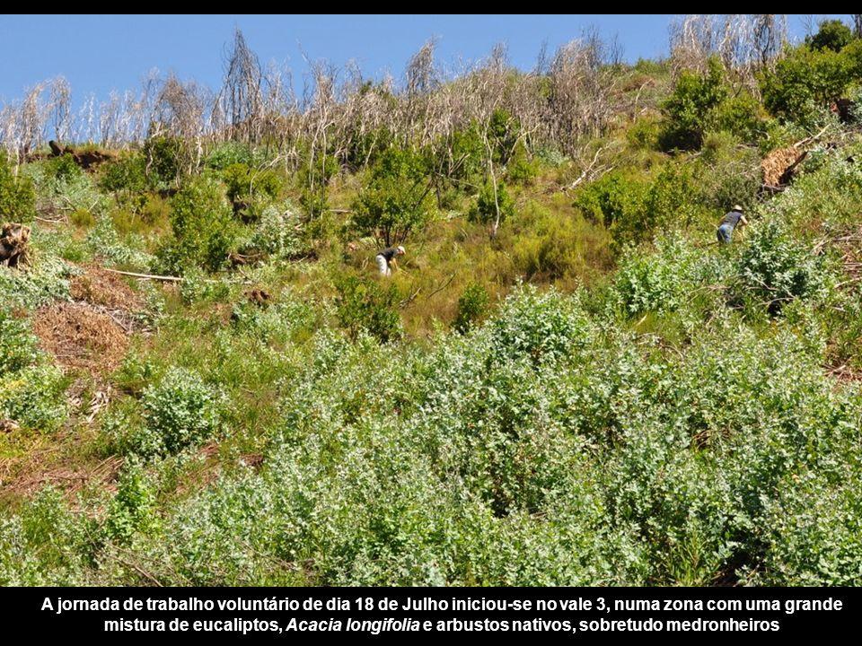 A jornada de trabalho voluntário de dia 18 de Julho iniciou-se no vale 3, numa zona com uma grande mistura de eucaliptos, Acacia longifolia e arbustos nativos, sobretudo medronheiros