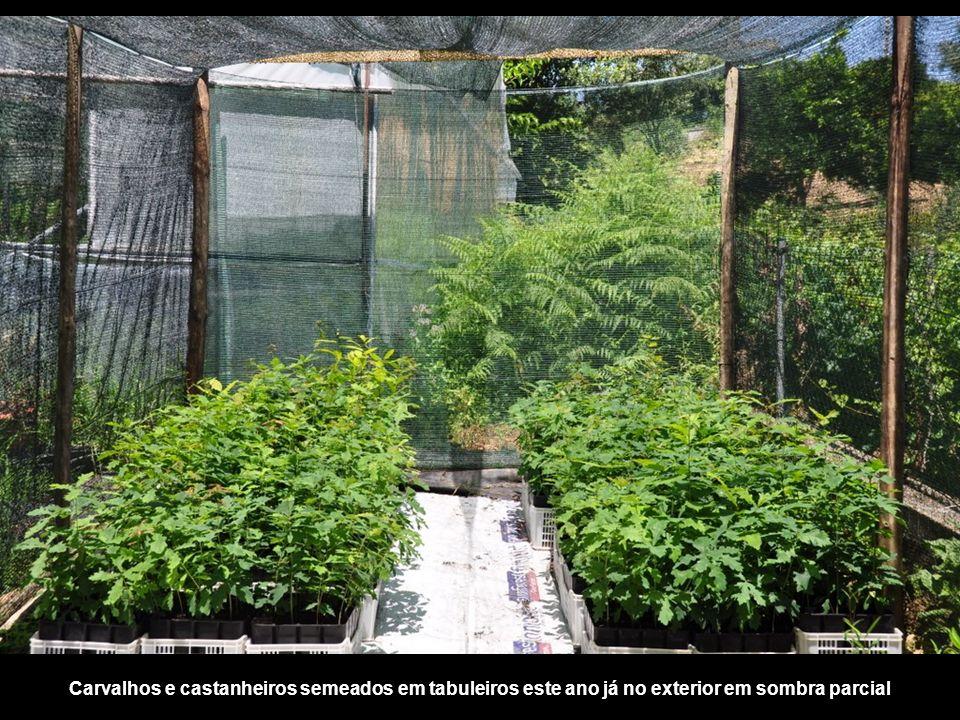 Carvalhos e castanheiros semeados em tabuleiros este ano já no exterior em sombra parcial