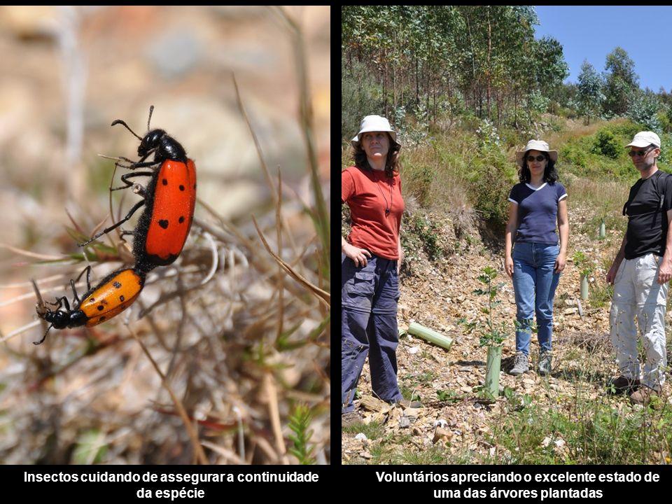 Insectos cuidando de assegurar a continuidade da espécie