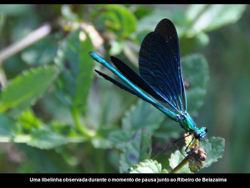 Uma libelinha observada durante o momento de pausa junto ao Ribeiro de Belazaima