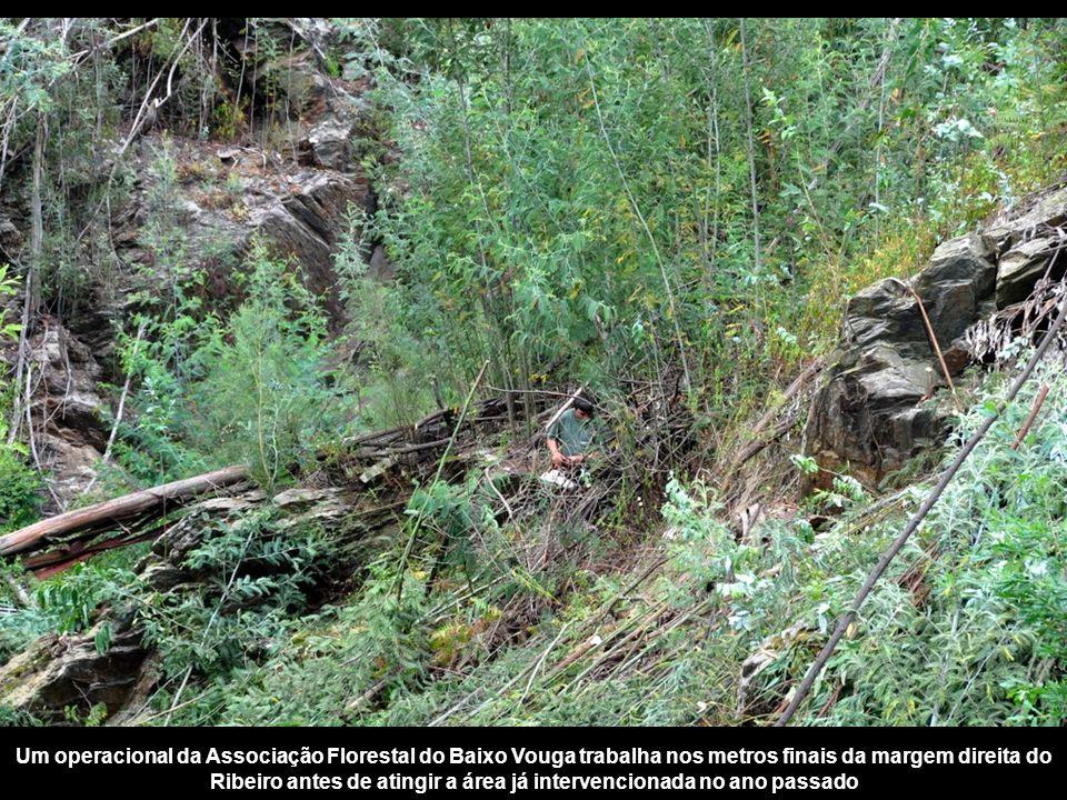 Um operacional da Associação Florestal do Baixo Vouga trabalha nos metros finais da margem direita do Ribeiro antes de atingir a área já intervencionada no ano passado