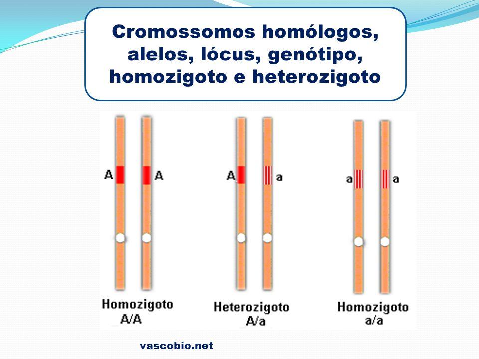Cromossomos homólogos, alelos, lócus, genótipo, homozigoto e heterozigoto