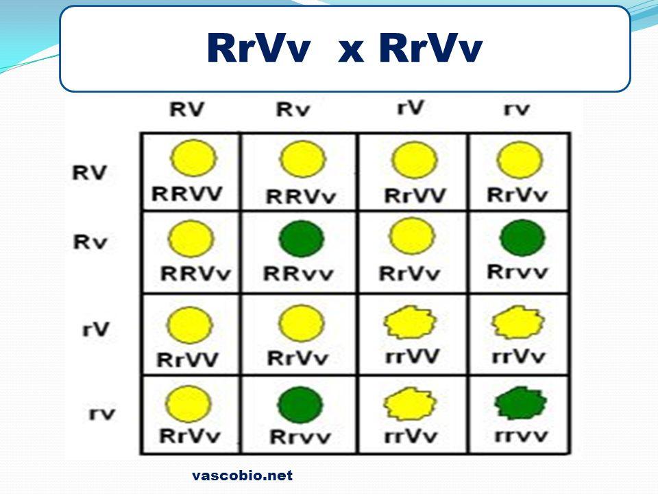 RrVv x RrVv vascobio.net