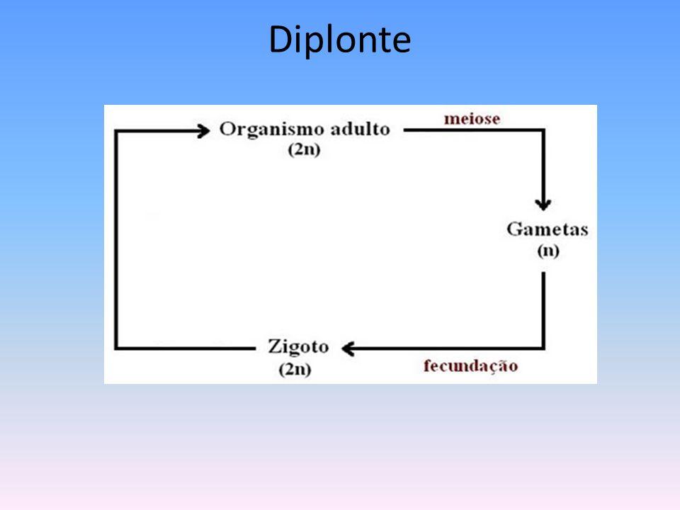Diplonte