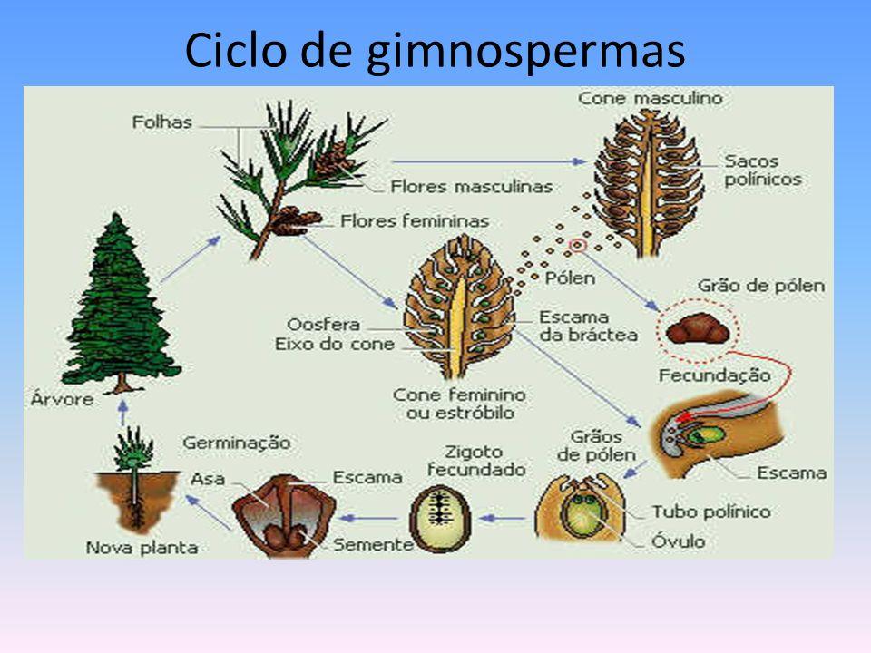 Ciclo de gimnospermas