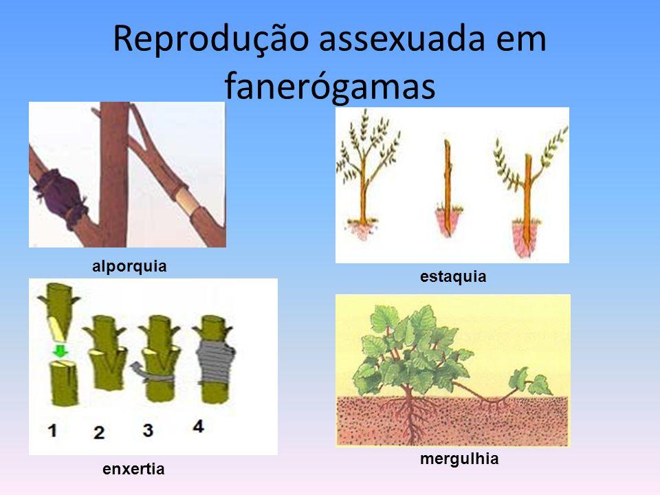 Reprodução assexuada em fanerógamas