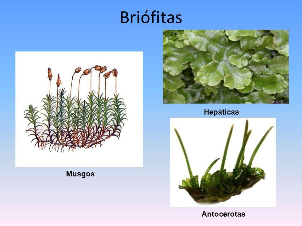 Briófitas Hepáticas Musgos Antocerotas