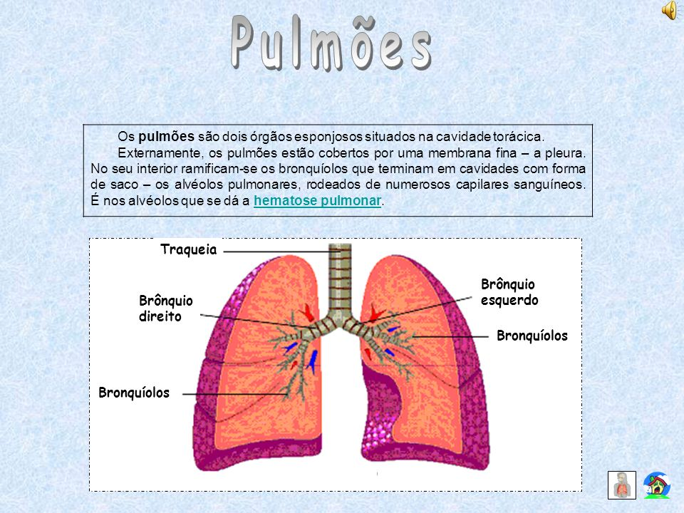 Pulmões Os pulmões são dois órgãos esponjosos situados na cavidade torácica.