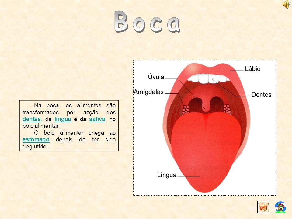 Boca Na boca, os alimentos são transformados por acção dos dentes, da língua e da saliva, no bolo alimentar.