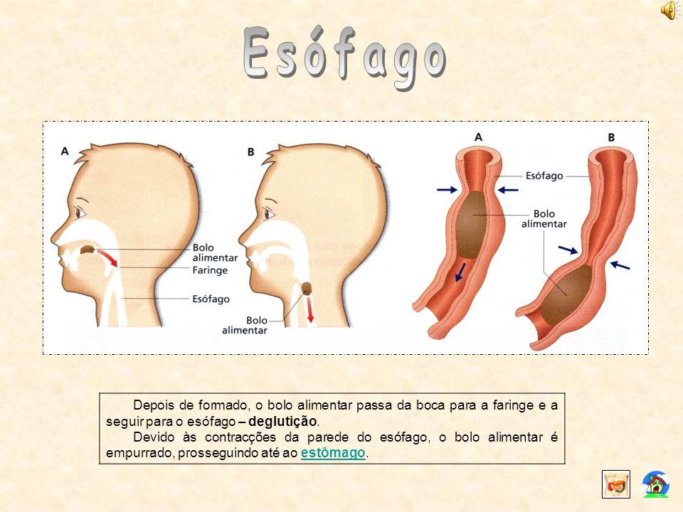 Esófago Depois de formado, o bolo alimentar passa da boca para a faringe e a seguir para o esófago – deglutição.