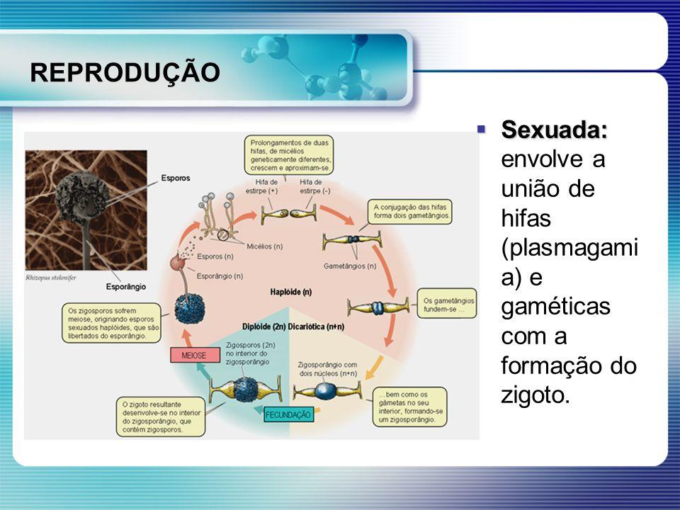 REPRODUÇÃO Sexuada: envolve a união de hifas (plasmagamia) e gaméticas com a formação do zigoto.