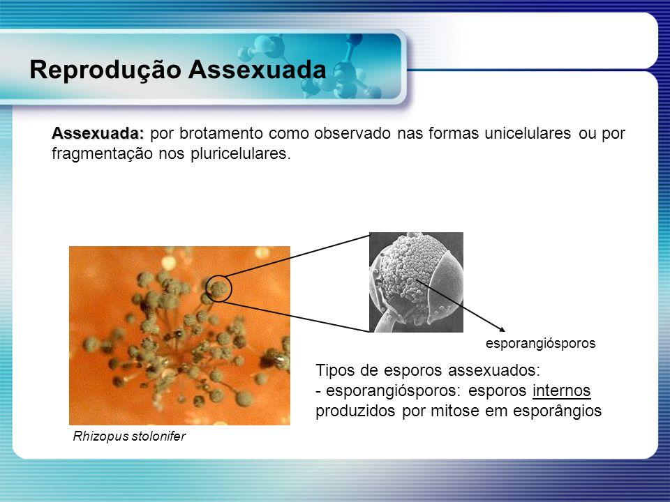 Reprodução Assexuada Assexuada: por brotamento como observado nas formas unicelulares ou por fragmentação nos pluricelulares.