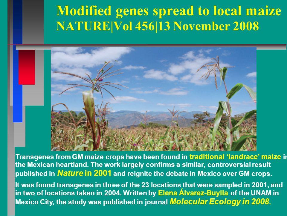 Modified genes spread to local maize NATURE|Vol 456|13 November 2008