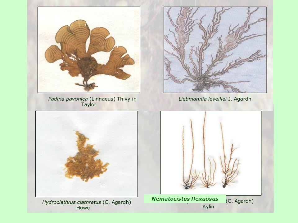 Nematocistus flexuosus