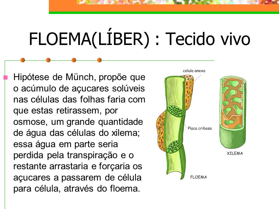 FLOEMA(LÍBER) : Tecido vivo