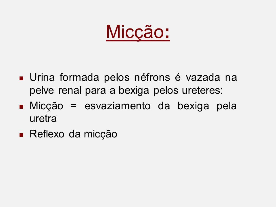 Micção: Urina formada pelos néfrons é vazada na pelve renal para a bexiga pelos ureteres: Micção = esvaziamento da bexiga pela uretra.