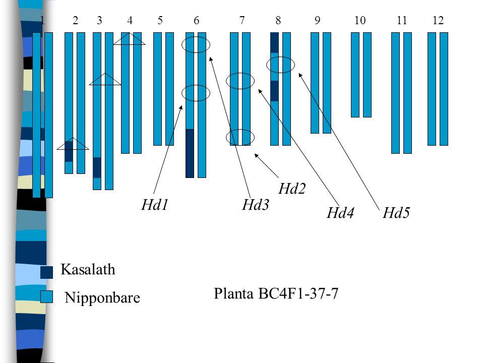 Hd1 Hd3 Hd2 Hd4 Hd5 Kasalath Nipponbare Planta BC4F1-37-7