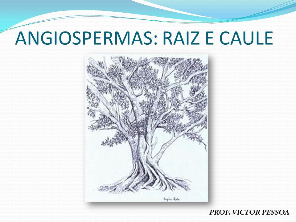 ANGIOSPERMAS: RAIZ E CAULE