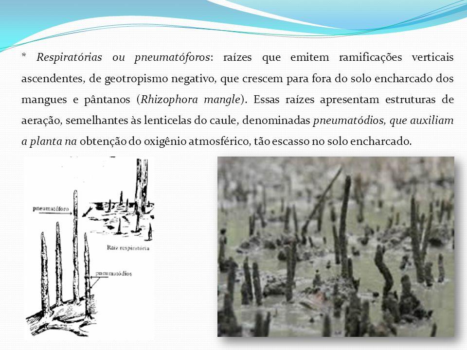 * Respiratórias ou pneumatóforos: raízes que emitem ramificações verticais ascendentes, de geotropismo negativo, que crescem para fora do solo encharcado dos mangues e pântanos (Rhizophora mangle).