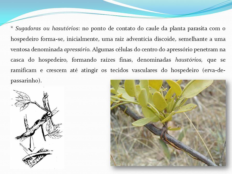 * Sugadoras ou hasutórios: no ponto de contato do caule da planta parasita com o hospedeiro forma-se, inicialmente, uma raiz adventícia discoide, semelhante a uma ventosa denominada apressório.