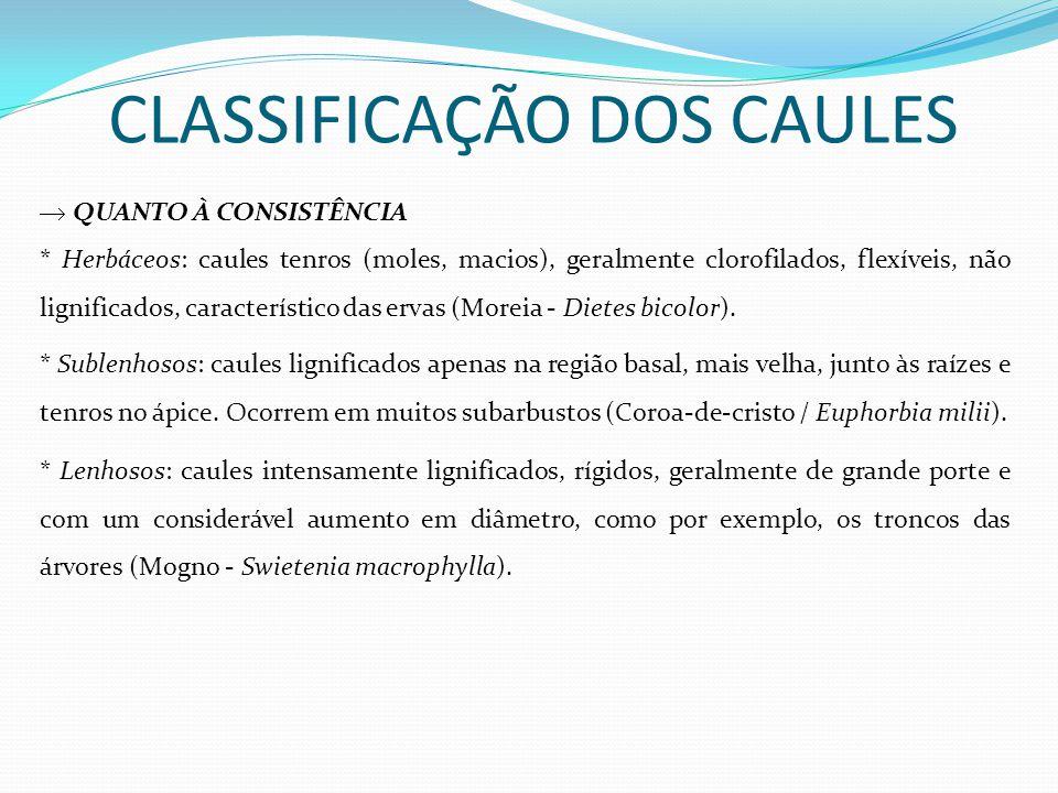 CLASSIFICAÇÃO DOS CAULES