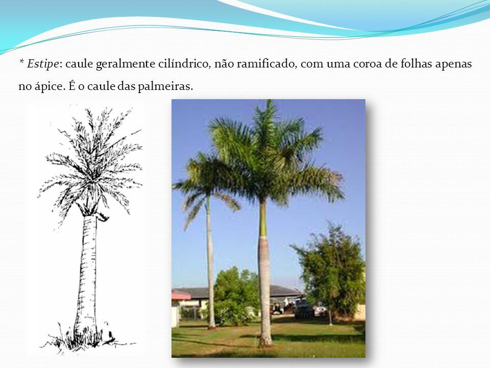 * Estipe: caule geralmente cilíndrico, não ramificado, com uma coroa de folhas apenas no ápice.