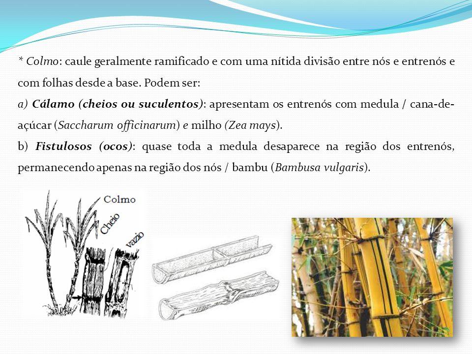 * Colmo: caule geralmente ramificado e com uma nítida divisão entre nós e entrenós e com folhas desde a base. Podem ser: