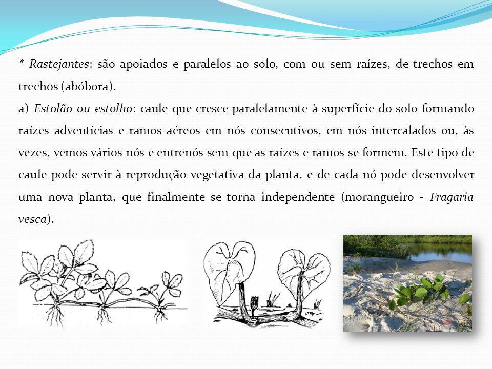 * Rastejantes: são apoiados e paralelos ao solo, com ou sem raízes, de trechos em trechos (abóbora).