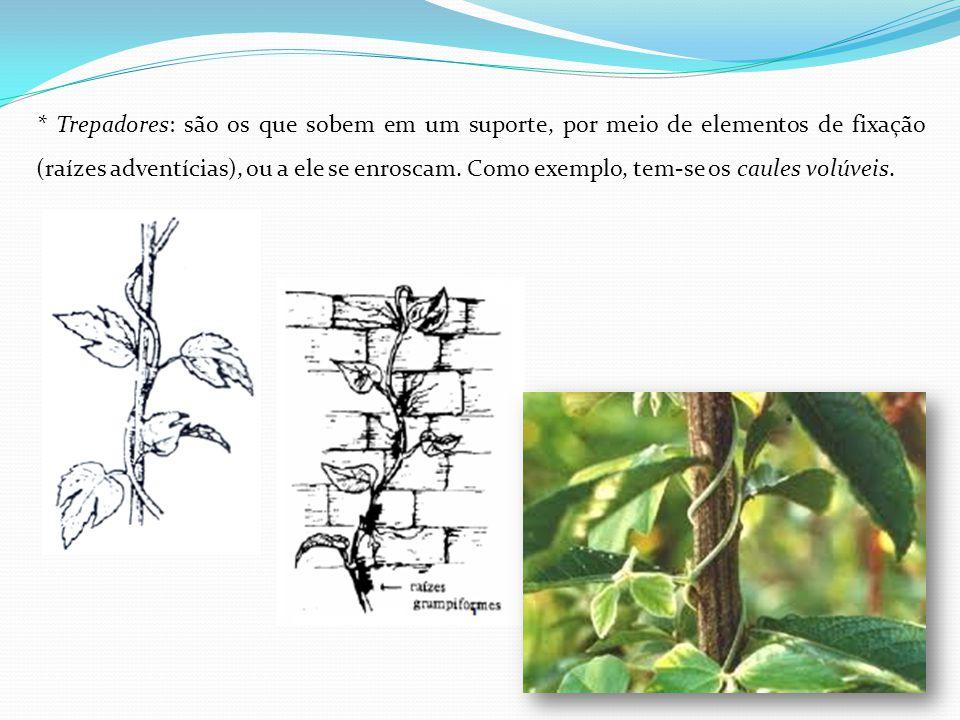 * Trepadores: são os que sobem em um suporte, por meio de elementos de fixação (raízes adventícias), ou a ele se enroscam.