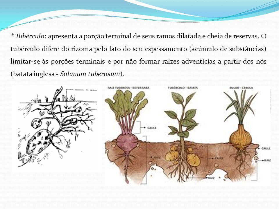 * Tubérculo: apresenta a porção terminal de seus ramos dilatada e cheia de reservas.
