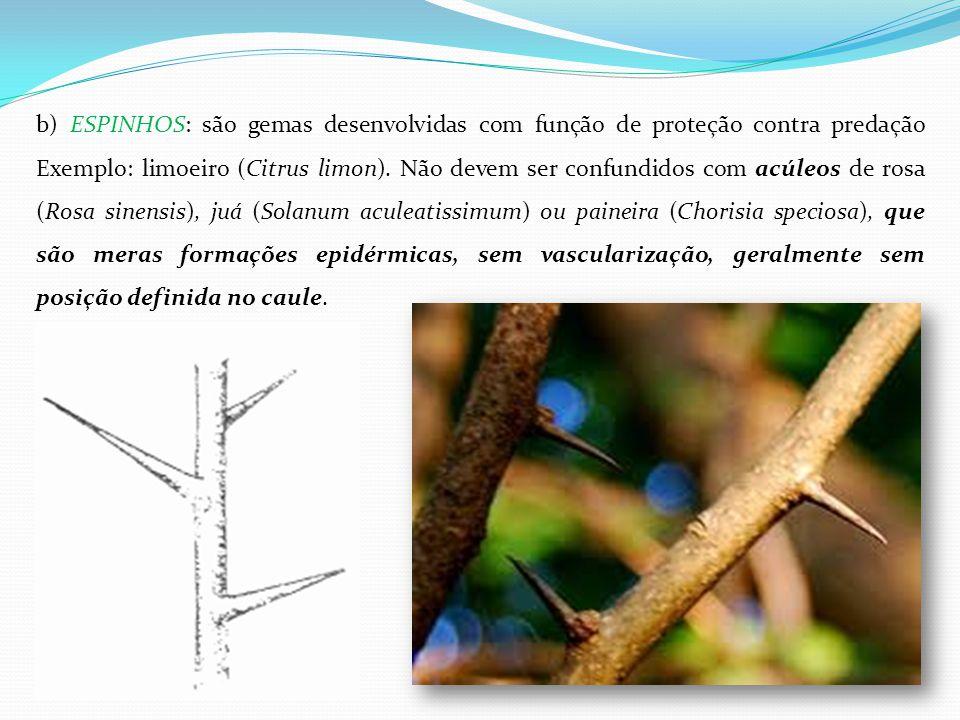 b) ESPINHOS: são gemas desenvolvidas com função de proteção contra predação Exemplo: limoeiro (Citrus limon).