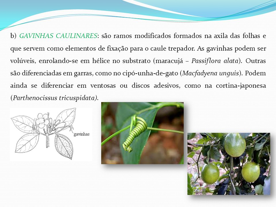 b) GAVINHAS CAULINARES: são ramos modificados formados na axila das folhas e que servem como elementos de fixação para o caule trepador.