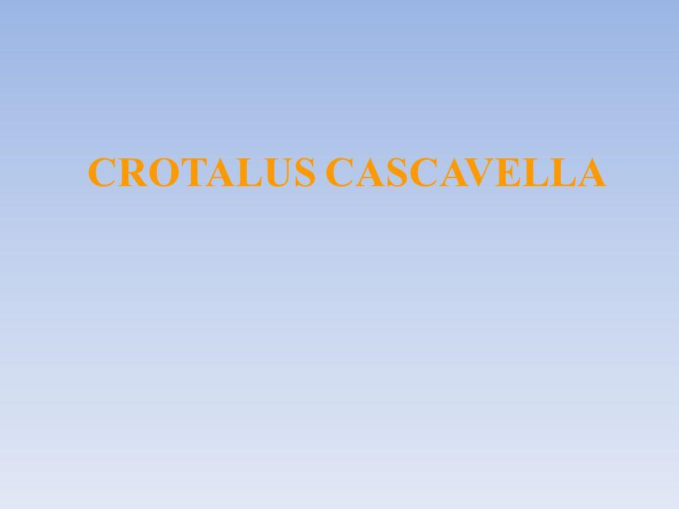 CROTALUS CASCAVELLA