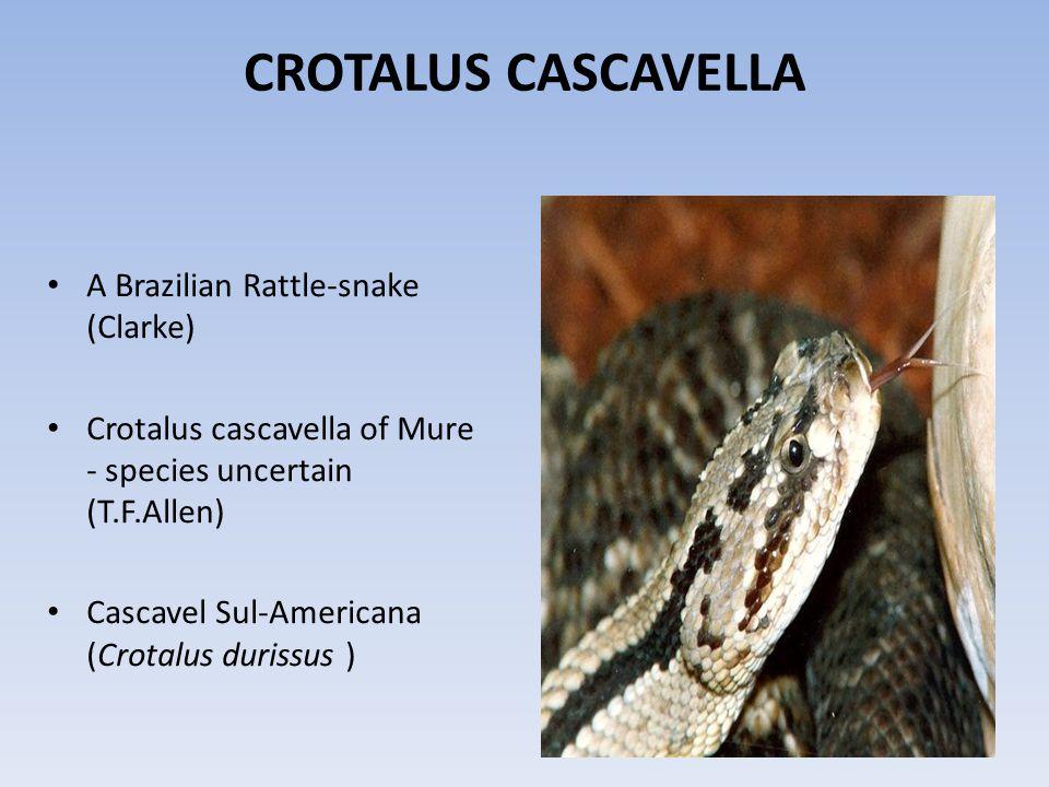 CROTALUS CASCAVELLA A Brazilian Rattle-snake (Clarke)