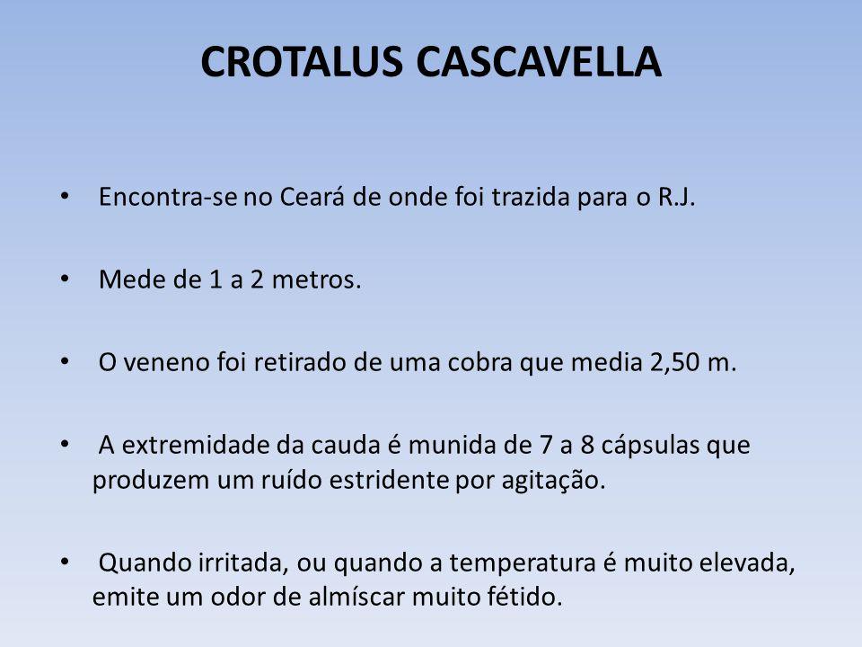 CROTALUS CASCAVELLA Encontra-se no Ceará de onde foi trazida para o R.J. Mede de 1 a 2 metros. O veneno foi retirado de uma cobra que media 2,50 m.