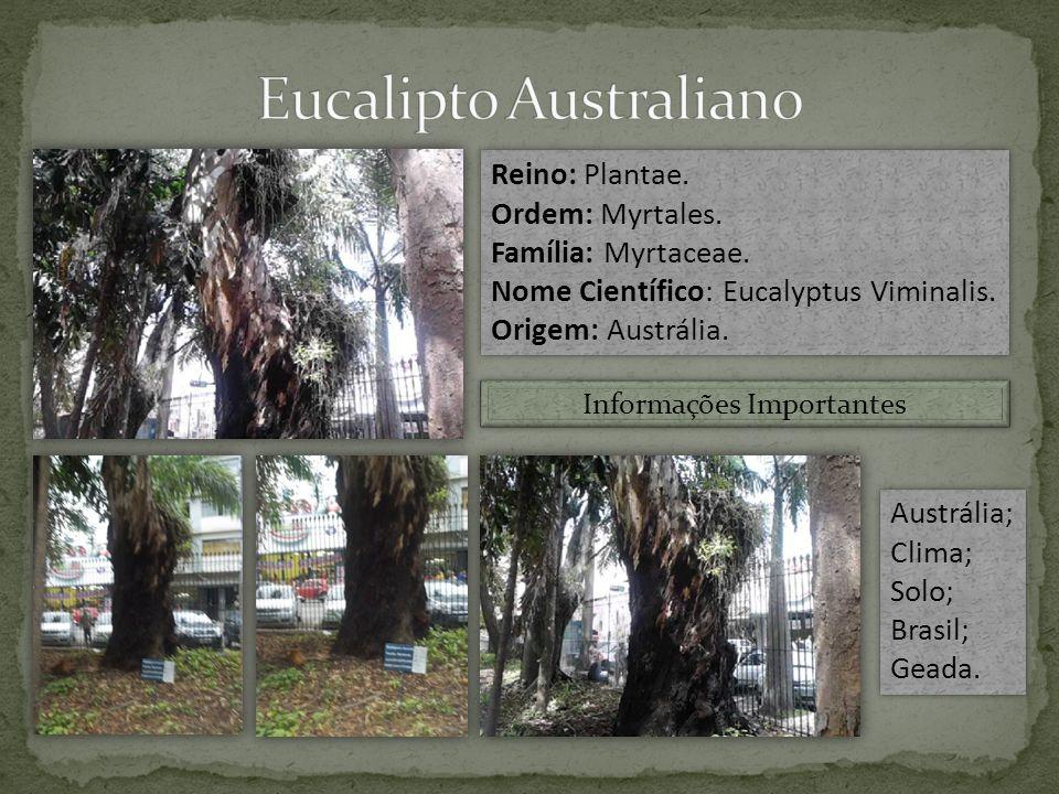 Eucalipto Australiano