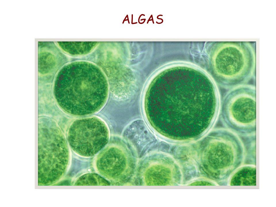 ALGAS 35