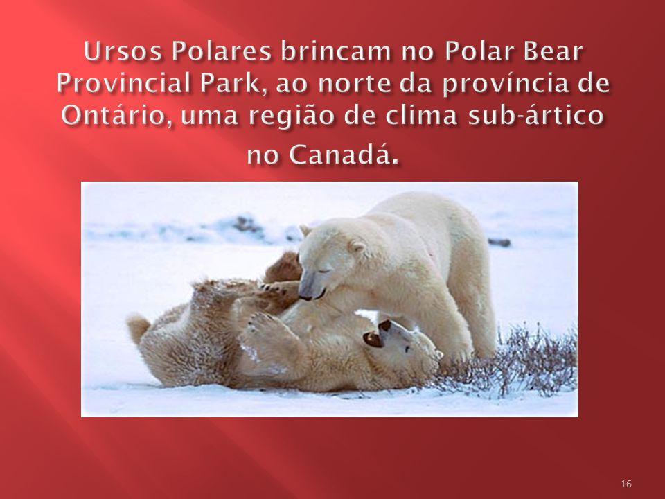 Ursos Polares brincam no Polar Bear Provincial Park, ao norte da província de Ontário, uma região de clima sub-ártico no Canadá.